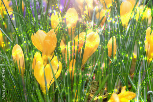 Foto op Plexiglas Tulp yellow crocuses with spring green leaves and sparkling lights background