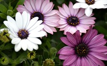 Details Of Purple Daisies And ...