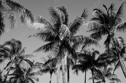 Poster  Black and White Palm Trees in South Beach, Miami