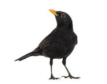 Blackbird Turdus Merula , Isol...