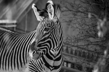 Fototapeta na wymiar Zebra in black and white close up