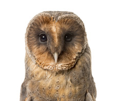 Close-up Of A Barn Owl , Isola...