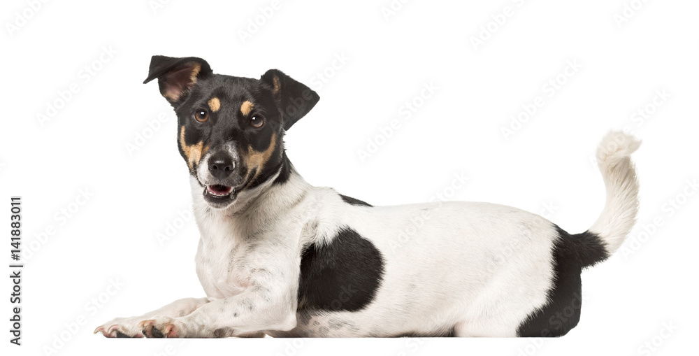 Fototapety, obrazy: Side view of a Jack Russell Terrier lying , isolated on white