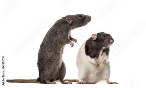 Photo  Two attentive Rats standing , isolated on white