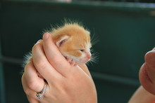 A Three Week Old Barn Kitten
