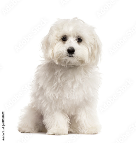 Valokuva  White Bichon sitting, isolated on white