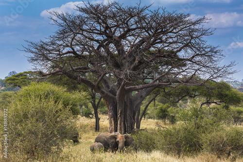Elephant near a baobab tree in Tarangire National Park, Tanzania, Africa