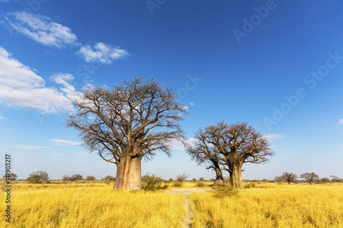 Baobab trees in winter