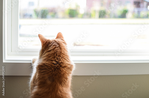 curious long haired orange cat stands at window looking outside