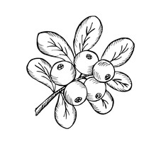 Сowberry With Leaves And Branches.  Illustration Doodle Sketch Hand-drawn Bunch Of Ripened Lingonberry. Isolated On White Background. Vintage Retro Style. Ripe Cranberry With Leaves And Branches.
