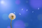 Fototapeta Dmuchawce - Dandelion in sunlight releasing seeds.