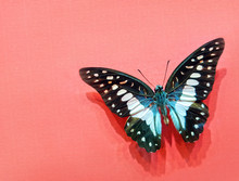 Graphium Agamemnon Butterfly W...