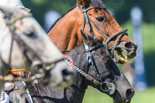 Photo  Horses Heads Closeup Game Action Polocrosse
