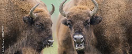 Keuken foto achterwand Buffel Bison bonasus - European bison - Milovice, Czech republic