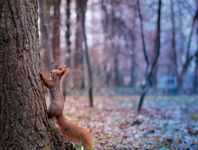 Afraid Of Bokeh. A Red Squirrel Climbing A Tree. A Profile View With Colourful Bokeh Park In The Background.