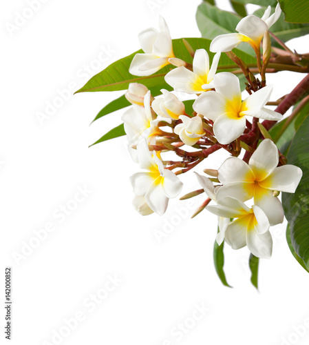 Branch of tropical white flowers plumeria isolated on white branch of tropical white flowers plumeria isolated on white background mightylinksfo