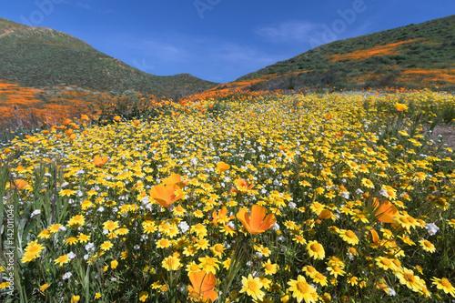 Plakat Kalifornia Złoty maczek i Goldfields kwitnie w piechura jarze, Jeziorny Elsinore, CA