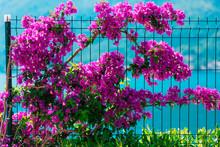 Flowering Bougainvillea Trees ...