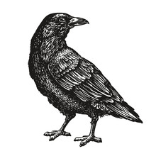 Hand-drawn Black Crow. Raven, Bird Sketch, Vector Illustration