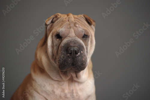 Montage in der Fensternische Hund Shar Pei dog sit in studio, isolated