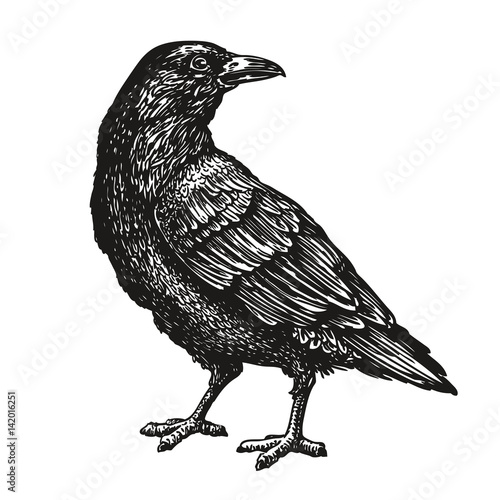 Fotografía Hand-drawn black crow. Raven, bird sketch, vector illustration
