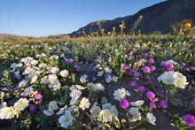 Wildflower In Anza Borrego Des...