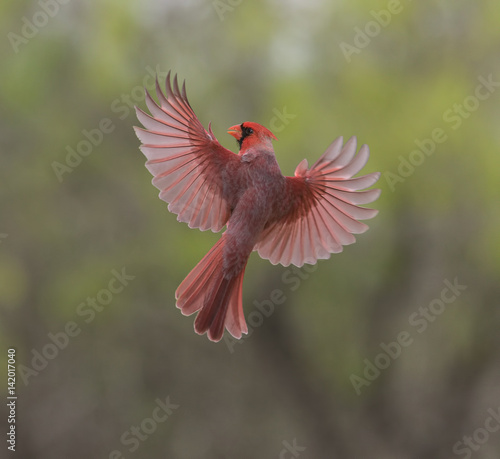 Cuadros en Lienzo Rhapsody in Red - A male cardinal spreads its beautiful red wings in preparation for a landing
