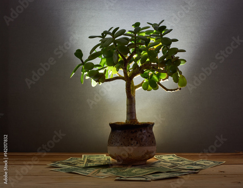 The photograph shows a money tree (Crassula), and money