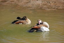Egyptian Geese Cleaning Themse...