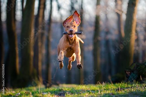 Poster Chien Hungarian pointer hound dog