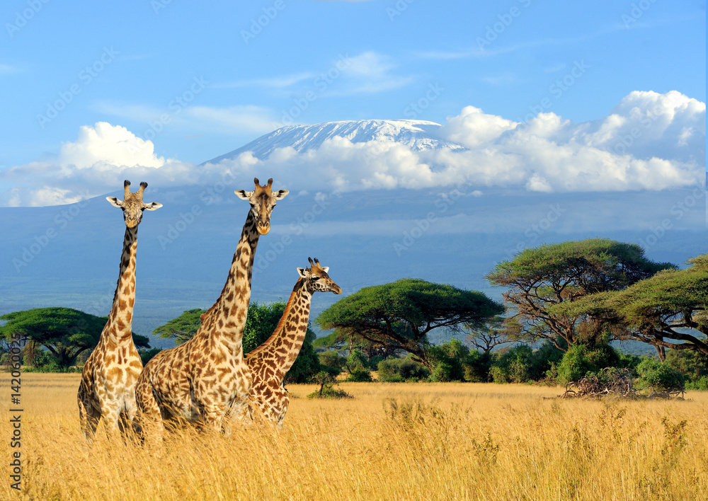 Three giraffe on Kilimanjaro mount background in National park of Kenya
