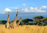 Fototapeta Sawanna - Three giraffe on Kilimanjaro mount background in National park of Kenya