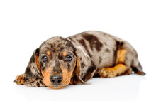 Sad Spotted Dachshund Puppy Looking At Camera. Isolated On White Background