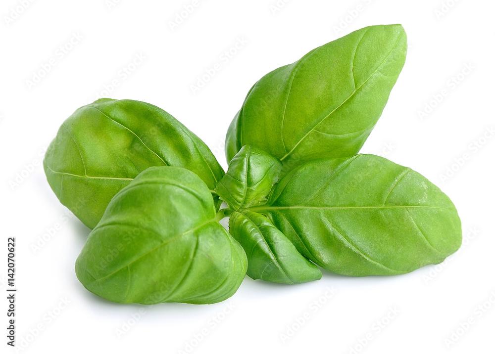 Fototapety, obrazy: Basil leaves isolated .