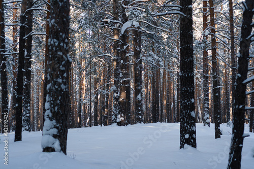Fotografie, Obraz  Pine forest on a sunny winter morning