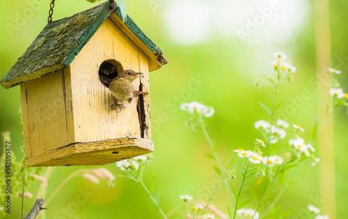 Photo House Wren