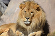 Gorgeous Golden African Lion with a Thick Black Fur Mane