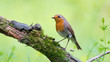 European Robin posing on a moss covered aged tree branch