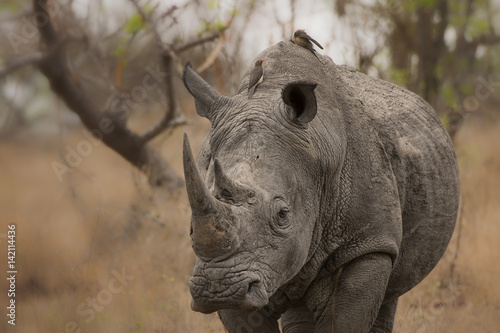 Poster Neushoorn Oxpeckers on white rhino in South Africa