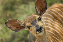 Young Kudu In Low Veld Of Sout...