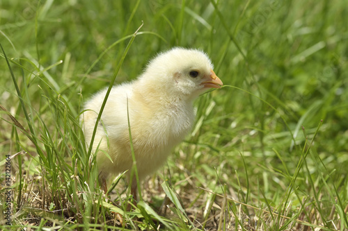 little chicken on a grass Poster