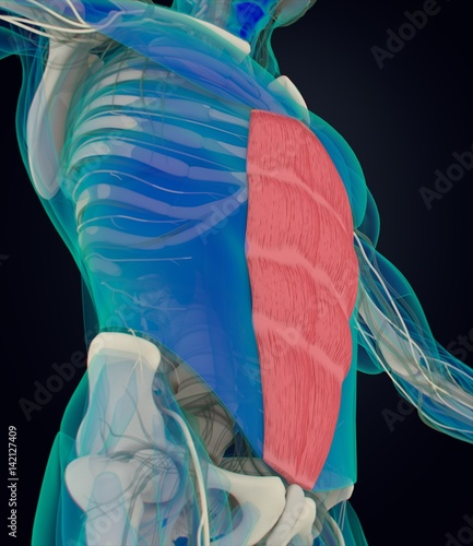 Rectus Abdominus, stomach muscles, human anatomy Fototapet