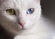 Beautiful Snow-white Pedigreed Cat With Amazing Different Multi-colored Eyes On A Sunny Day.