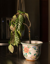 Drooping Houseplant In Pottery Vase