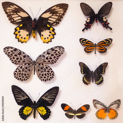 Stampe  Butterfly collection under glass.