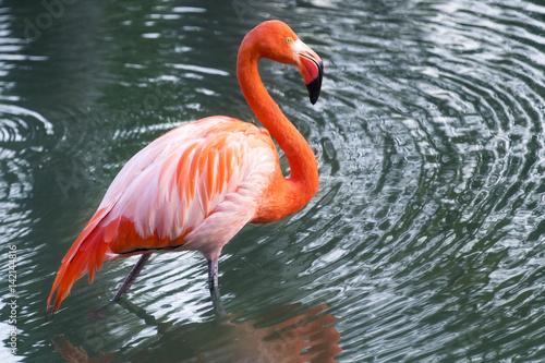Foto op Aluminium Flamingo Flamingo bird in Lagos de Mayajigua-Sancti Spiritus, Cuba