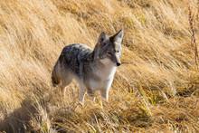 Coyote Hunting In Field Of Dri...
