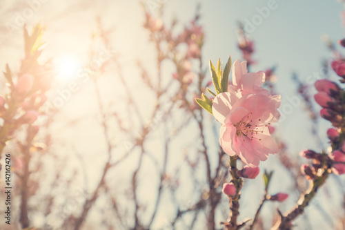 Staande foto Lente Flowering tree branches with pink flowers in sunlight
