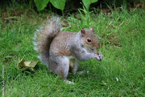 Plakat Szara wiewiórka je dokrętki w Hyde parku Londyn, Zjednoczone Królestwo