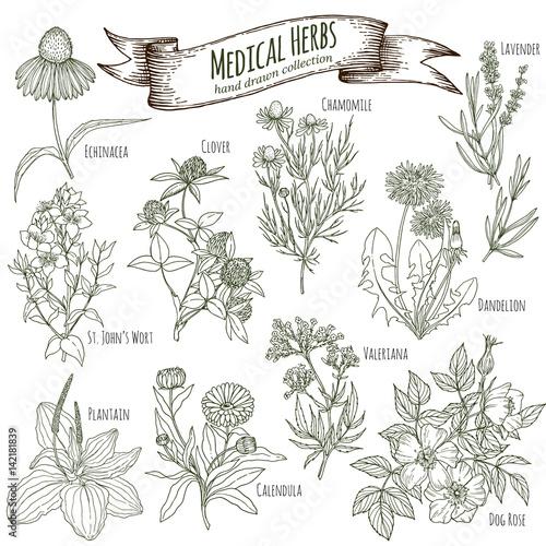 Fototapeta Medicinal herbs collection obraz